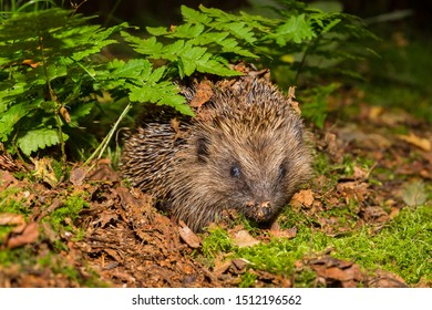 Wild hedgehog, (Scientific name: Erinaceus europaeus) Native, wild European hedgehog in natural Autumn woodland. Facing to the front. Close up.  Blurred background. Horizontal.  Space for copy.