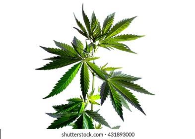 Wild hemp plant on the white background.