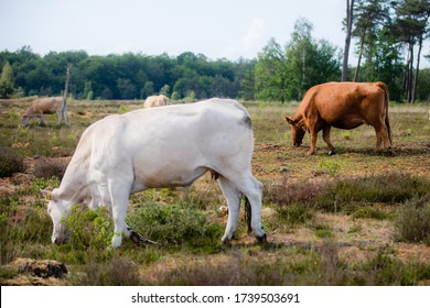A wild herd of cows or cattle grazing in a heather field in a forest with their calfs at Kampina, a moorland nature reservoir near Boxtel in Noord Brabant
