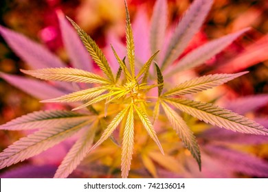 Wild high natural cannabis plant in sunshine and shadows. Cannabis grows wild in the summer, marijuana leaves. happy pink life with cannabis.