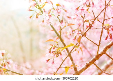 Spring season in india images stock photos vectors shutterstock wild himalayan cherry blossom blooming in spring season soft focus vintage filter style mightylinksfo