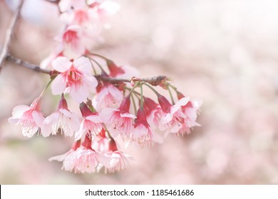 wild himalayan cherry blossom or cherry flowers.Soft focus