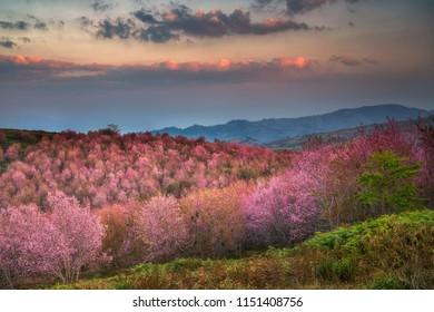 Wild Himalayan Cherry Blossom (Prunus cerasoides) beautiful pink sakura Flower at phu lom lo, Loei, Thailand.