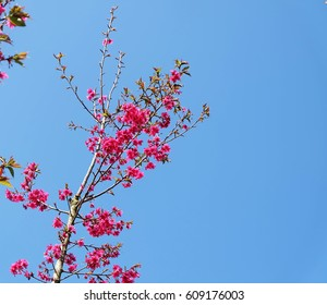 The wild himalayan cherry blossom in thailand,beautiful pink flowers blossom