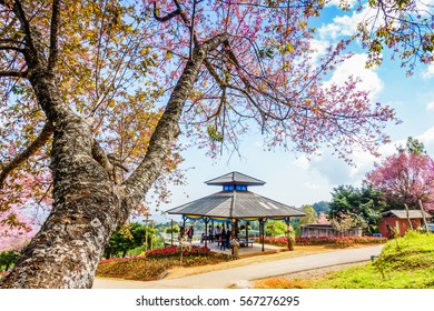 Wild Himalayan Cherry flower, Sakura flower in Khun Wang, Doi Inthanon, Chiangmai, Thailand. 28 January 2017.