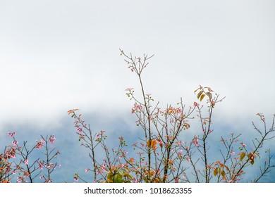 Wild Himalayan Cherry on the mountain among sea of fog