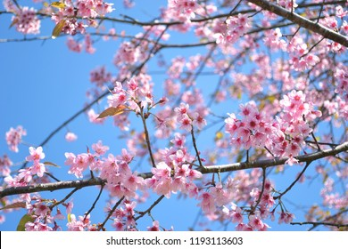 Wild Himalayan Cherry, Phu-LomLo  Phu hin rongkla national park, Phitsanulok Province. Thailand