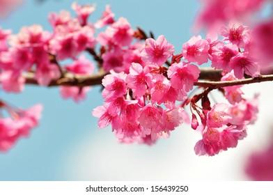 Wild Himalayan Cherry (pink Thai sakura) in Angkhang, Chiangmai Thailand in winter 2013