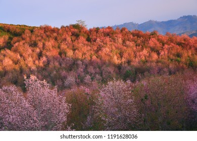 Wild Himalayan Cherry (Prunus cerasoides) blossoms only once a year around December to February depending on the weather. Phu Lom Lo, Phu Hin Rong Kla, Thailand.