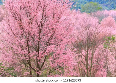 Wild Himalayan Cherry (Prunus cerasoides) blossoms only once a year around December to February depending on the weather. Phu Lom Lo, Thailand.