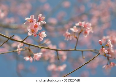 Wild Himalayan Cherry , Sakura , Cherry Blossoms grows in the mountains and creates fabulous pink blossoms each winter at Northern Thailand with blue sky on background.
