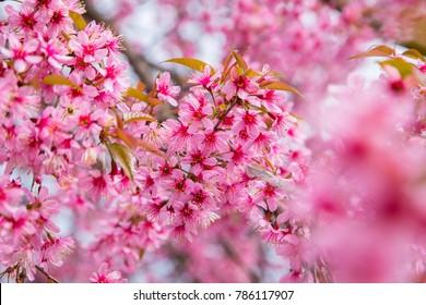 Wild Himalayan Cherry (Sakura of Thailand) at Khunwang Royal Project Foundation, Chiang Mai (Thailand)