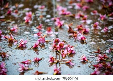 Wild Himalayan Cherry, Sakura Thailand in Chiang Rai, Prunus cerasoides