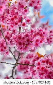 Wild Himalayan Cherry or Thai Sakura for background