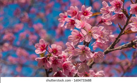 Wild Himalayan cherry or Thailand Sakura, which is pinkish white in color flowers as selective focus.