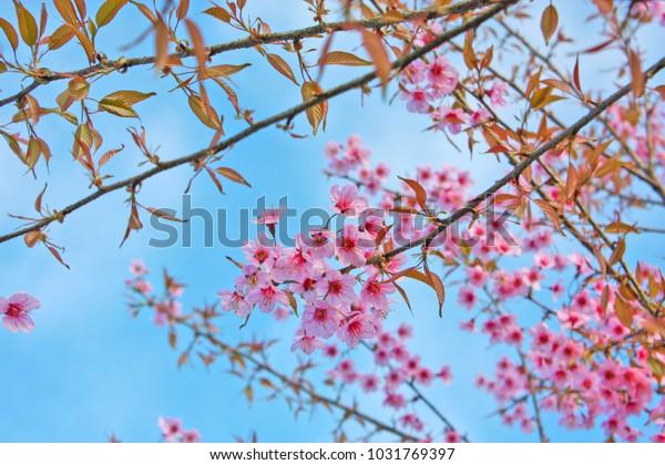 Wild Himalayan Cherry Thailandthai Sakuraflower Wallpaper