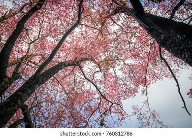 Wild Himalayan Cherry Tree at Chiang mai,Thailand