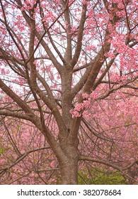 Wild Himalayan Cherry Tree  (Prunus cerasoides)