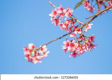 Wild Himalayan Cherry(Prunus cerasoides) Blossom blooming pink flower season at Phu Lom Lo,Loei, Thailand