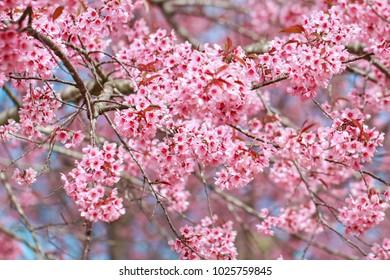 Wild Himalayan Cherry(Prunus cerasoides), Sakura in Thailand at Phu Lom Lo, selective focus