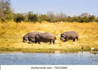 Wild Hippos, Okavango delta, Botswana, Africa