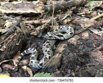 Wild hognose snake