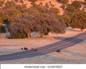 Wild hogs crossing a road near Fort Davis, TX