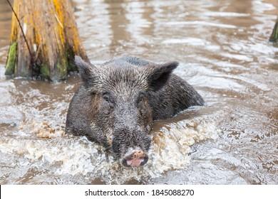 Wild Hogs in Louisanna Bayou