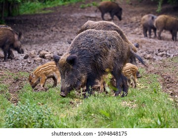 Wild hogs, sow and piglets rooting for food