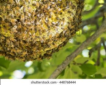 Wild Honeybee Hive in a Tree