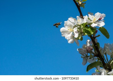 Wild honeybee hovering next to apple blossom flowers against blue sky, beautiful wildlife nature scene.