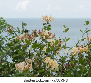 Wild Honeysuckle (Lonicera periclymenum) on the South West Coast Path between Ilfracombe and Woolacombe with the Bristol Channel in the Background in Rural Devon, England, UK