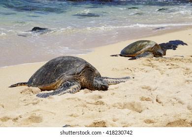 Wild Honu giant Hawaiian green sea turtles at Hookipa Beach Park, Maui