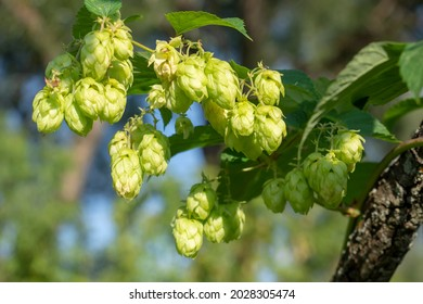 Wild hop harvest. A branch with ripe cones close-up. Creeping hops. Húmulus lúpulus. - Shutterstock ID 2028305474