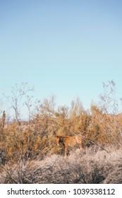 Wild Horse in The Desert of Arizona