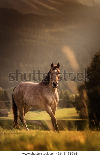 A wild horse in the dolomites in sunset light