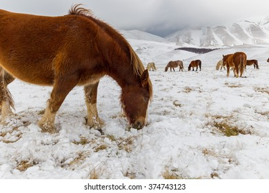 wild horse eating grass in the snow