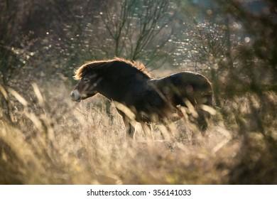 Wild horse the Exmoor pony in evening back light.