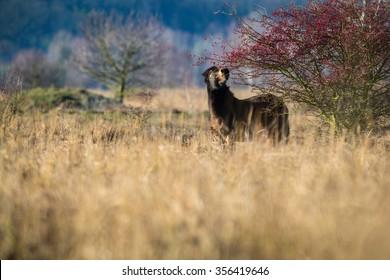 Wild horse the Exmoor pony feeding in grassland.