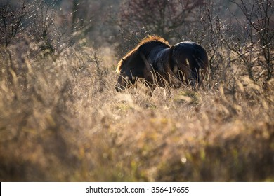 Wild horse the Exmoor pony feeding in grassland, evening backlight.