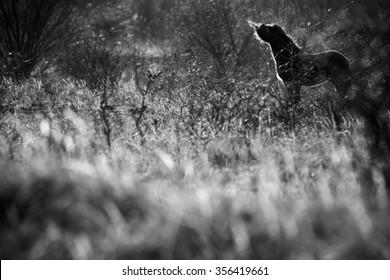 Wild horse the Exmoor pony feeding in grassland, black and white.
