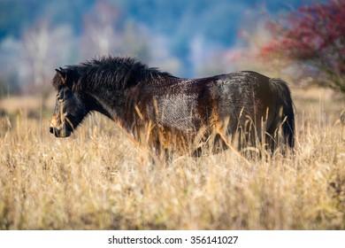 Wild horse the Exmoor pony in grassland.