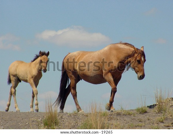Wild horse and foal. These are Spanish Mustangs photographed in South Dakota, USA