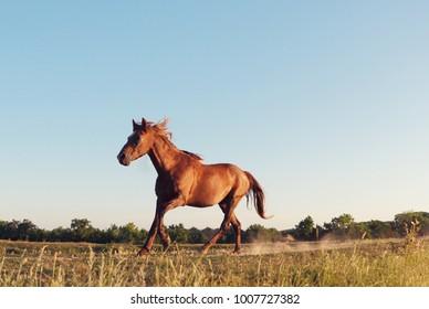Wild horse galloping in Danube Delta, Dobrogea, Romania