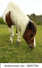 Wild Horse graving and eating grass along the coast on Assateague Island, Maryland