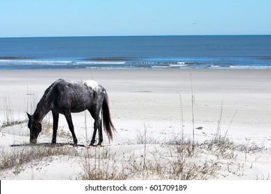 Wild Horse Grazing on the Beach in Cumberland Island, GA.