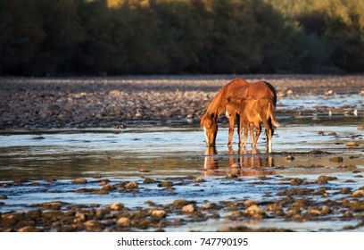 Wild horse and her foal on the Arizona Salt River