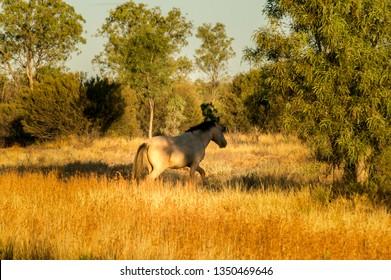 wild horse in the MacDonnell Range at sunset, australia