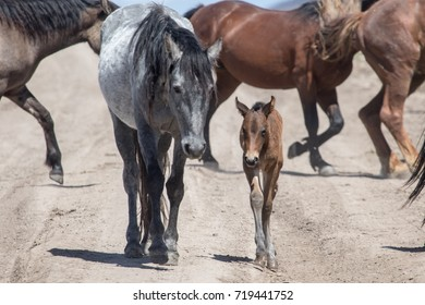 Wild horse mother and foal walking together