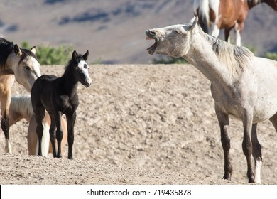Wild horse with mouth wide open